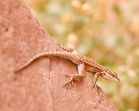 Lizard camouflaged on red rock Royalty Free Stock Photography