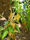 Lizard Camouflaging on Plant royalty free stock image