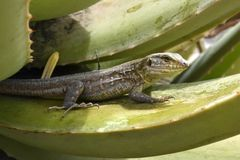 Lizard. A lizard on the Canary Island Tenerife stock image