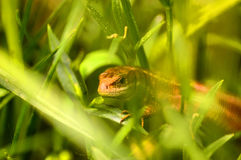 A lizard. Captured in meadow Royalty Free Stock Images