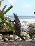 Lizard in the Caribbean Royalty Free Stock Photos