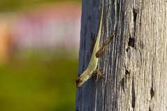Lizard, Caribbean. Lizard on a tree in Tortola, Caribbean Royalty Free Stock Photography