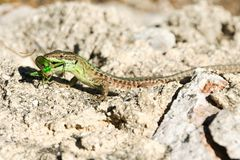 Lizard with a catch Stock Photo