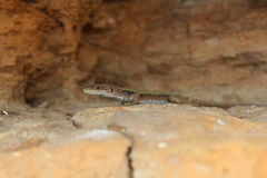 Lizard. In the Caucasus mountains crouching on a rock Royalty Free Stock Photo