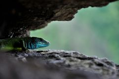 Lizard cave Stock Images