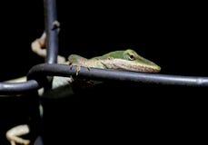 Lizard on a chain link fence Stock Photos