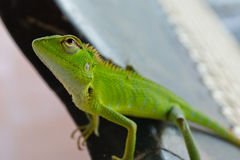 Lizard on a chair Royalty Free Stock Photos