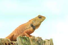 Lizard ,chameleon Royalty Free Stock Image