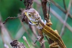 Lizard  changing skin resting on wood horizontal Stock Photography