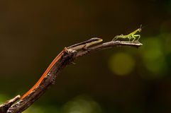 Lizard chasing praying mantis. A lizard looks like chasing a praying mantis on the branch Stock Photos