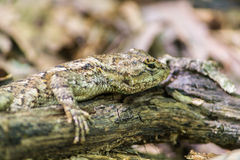 Lizard chilling on a limb Stock Image