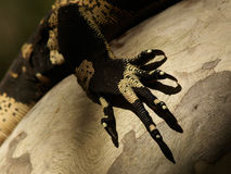 Lizard Claw on Tree. Claw of a big Lizard, black and yellow, on tree royalty free stock photos