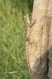 Lizard clawing on trunk Stock Images