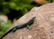 Lizard on clay jug against green leaves Royalty Free Stock Photos