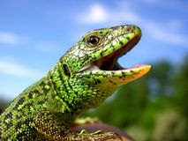 Lizard on a cliar morning Stock Photo