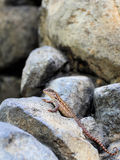 Lizard Climbing Stock Images