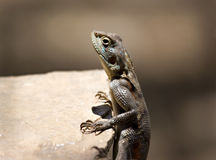 Lizard climbing Royalty Free Stock Image