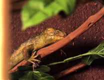 Lizard climbing on a branch Stock Photo