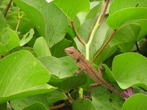 Lizard Climbing on the Green Leaves Royalty Free Stock Image