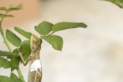 Lizard climbing on rose leafs. With copy space royalty free stock images