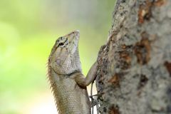 A lizard climbing the tree Stock Photos