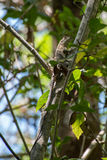 Lizard climbing a tree in Guanacaste. Lizard climbing a tree in Costa Rica Royalty Free Stock Image