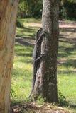Lizard climbs on a tree trunk. Varanus. A giant lizard on a tree branch. stock photos