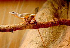 Lizard clinging to branch Stock Image
