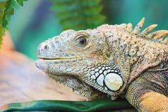 Lizard close up animal portrait Stock Image