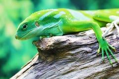 Lizard close up animal portrait Royalty Free Stock Photography