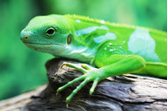 Lizard close up animal portrait Royalty Free Stock Images