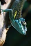 Lizard close up animal portrait Stock Images