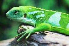 Lizard close up animal portrait Royalty Free Stock Photos