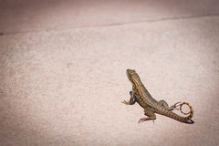 Lizard Close-up Royalty Free Stock Photography