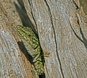 Lizard close up Stock Photography