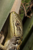 Lizard Close Up Royalty Free Stock Photo