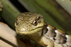 Lizard Close Up Royalty Free Stock Images