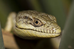 Lizard Close Up Stock Image