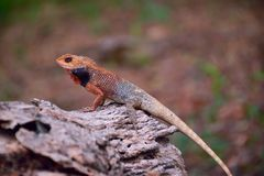 Lizard close up indian red to brown stand on fallen wood stock image