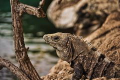 Lizard Close Up Royalty Free Stock Photos