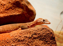 Lizard close up on rock. Lizard sitting on a rock platform in outback Northern Territory, Australia Royalty Free Stock Image