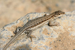 Lizard. The close-up of a lizard on rock royalty free stock image