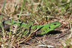 Lizard. Close up view of a lizard Stock Image