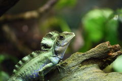 Lizard. A close up view of a lizard sitting on a branch Royalty Free Stock Images