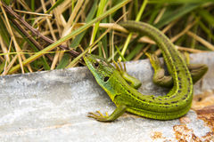 The Lizard Stock Images