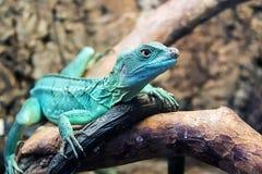Lizard close up in zoo Stock Photo