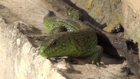 Lizard stock video footage