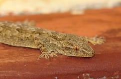 Lizard closeup Stock Photo