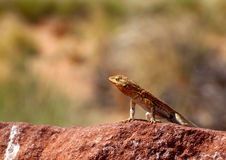 Lizard closeup Royalty Free Stock Photos