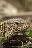 Lizard closeup Stock Photography